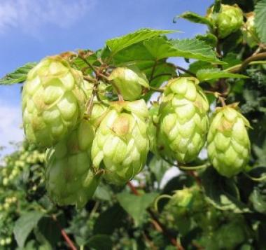 The Bronx Brewery planted 125 cascade hop plants at the New York Botanical Garden and community gardens across the borough, to be harvested this fall for brewing in a special batch of beer with local roots.