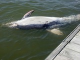 Dolphin Found Dead in Hudson River
