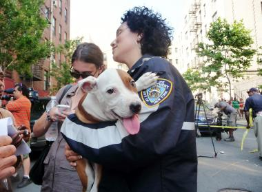 Pit bulls — similar to the one pictured here, which was not connected to the ring — were seized after a vicious dog-fighting operation was busted.