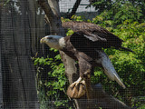 Bald Eagle Gets New Home at Staten Island Zoo