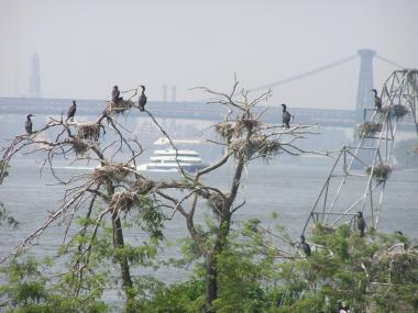 Double-crested cormorants on U-Thant Island spotted on Audubon's Sunset Eco-Cruise.
