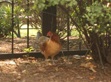 The chicken spends its days in a private park on Dartmouth Street and 71st Avenue.