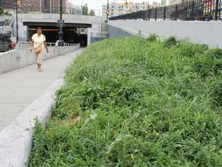 The head of a Grand Concourse-area merchants group recently uncovered a row of rosebushes along the 161st Street overpass. Before then, the bushes, which are under the purview of the Transportation Department, were surrounded by tall weeds and trash.