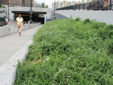 In June, the public plant beds along the 161st St. underpass were lined with rosebushes. Now, the rosebushes are engulfed by weeds.