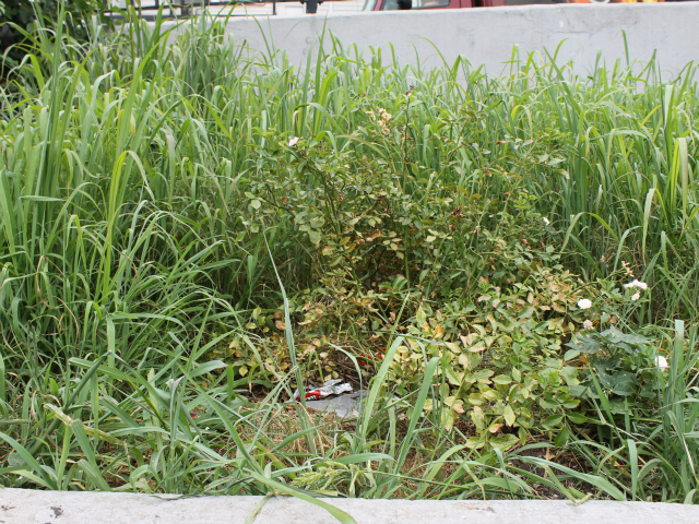 Weeds and some trash have surrounded the rosebushes that a local group uncovered in June.
