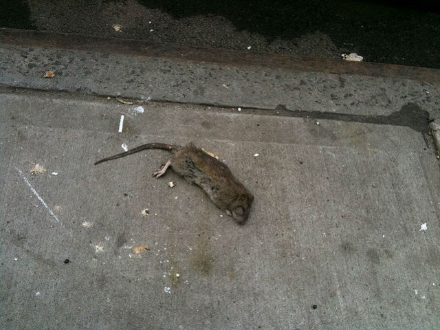 <p>A poisoned rat lies on a city sidewalk downtown. Upper West Side residents claim the rat problem is much worse in their neighborhood than in other neighborhoods.</p>