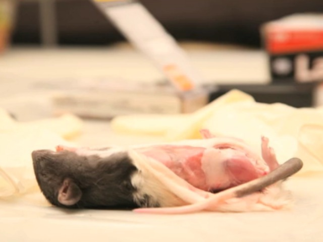 A half-skinned rodent can be seen in a video made by artist Laura Ginn about her show