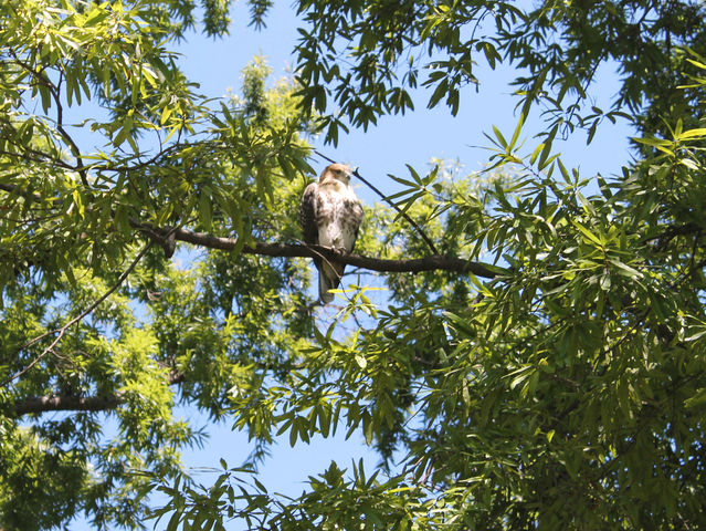 The red-tailed hawk, here perched near the Metropolitan Museum, is one of Pale Male's babies and became sick from ingesting rat poison.