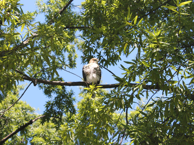 The red-tailed hawk has been very stationery, drawing concern from the birder community in New York City.