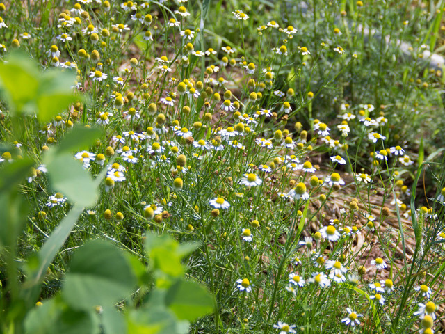 Aside from vegetables, El Poblano Farm also grows herbs like chamomile.