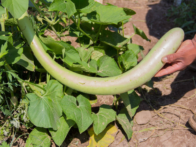 Aside from common Mexican produce, Garcia also grows produce common in other cuisines, like this Italian zucchini.