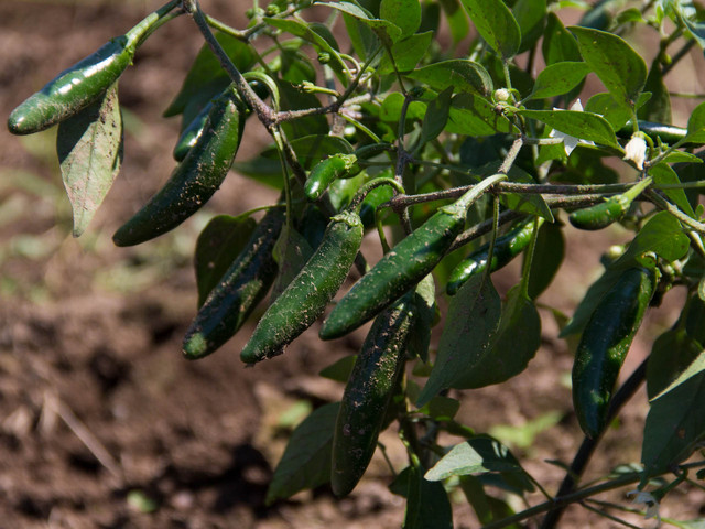 Jalapeno peppers grown at El Poblano Farm, New Springville.