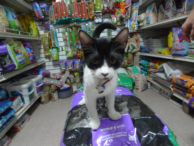 Minnie, one of two kittens who moved in recently at the pet store on Prospect Park West in Windsor Terrace.