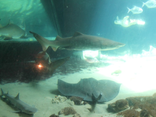 Inside the New York Aquarium's existing shark tank.
