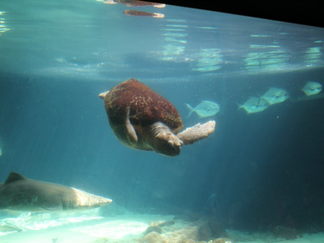 A sea turtle enjoys the clear waters at the New York Aquarium.