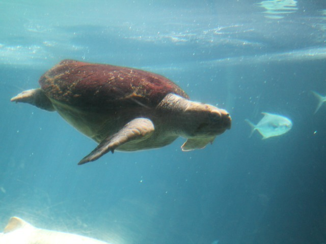 This sea turtle will be getting an apartment upgrade after the new shark exhibit opens in several years.