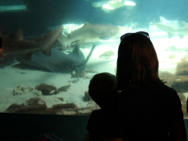 Luka Kunakemakorn, 3, watches as the animals swim around the shark tank.