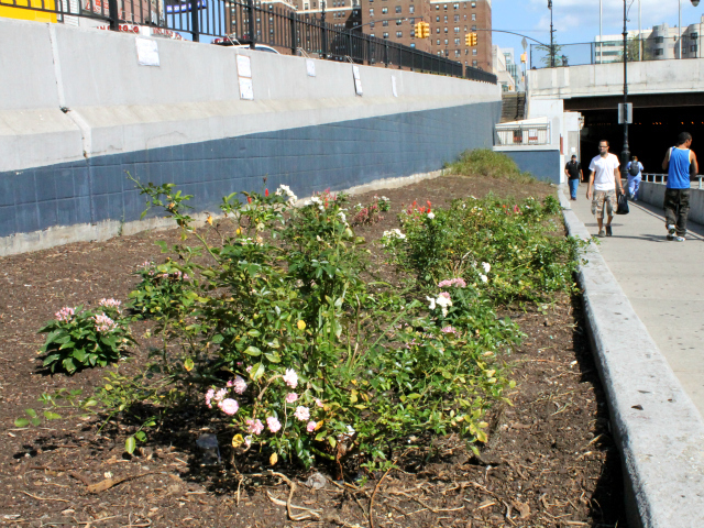 The north side of 161st has been cleared of weeds and its rosebushes revived. Next, it will be planted with new flowers.