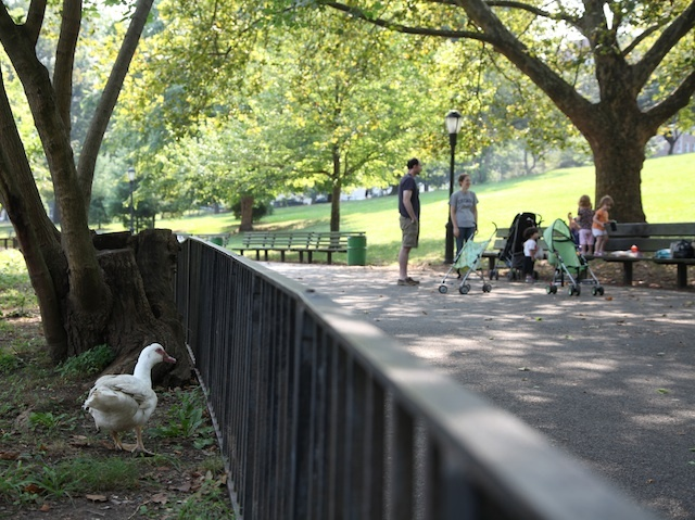 Winston, the domestic white duck in Inwood Hill Park, greets passer-by in hopes of food.