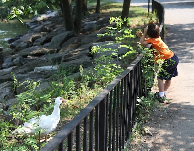 A boy glances over the fence to catch a glimpse of Winston, the white domestic duck who roams Inwood Hill Park.