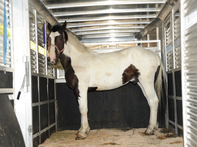 Oreo takes one last look as he prepares for his journey to Blue Star Equiculture in Massachusetts on Wednesday August 29th, 2012.