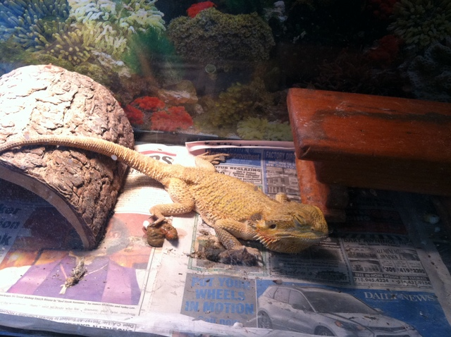 One of two bearded dragons that was seized by Animal Care & Control from a Crown Heights building on September 7, 2012.