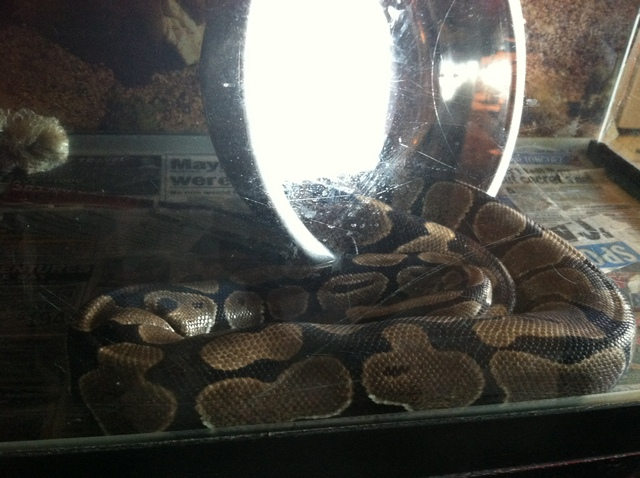 One of five pythons that was seized by Animal Care & Control from a Crown Heights building on September 7, 2012.