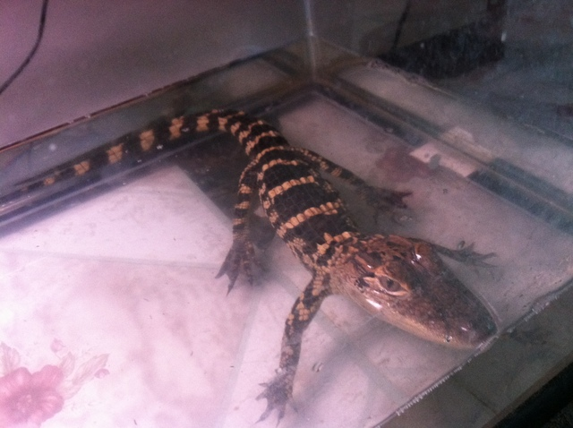 One of two alligators that was seized by Animal Care & Control from a Crown Heights building on September 7, 2012.