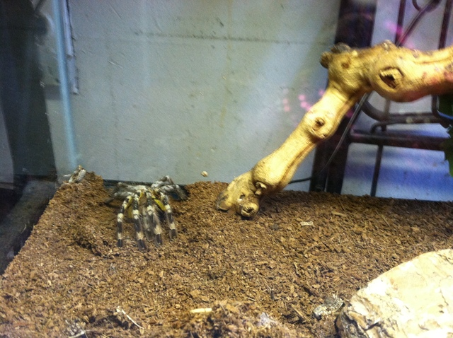 A tarantula that was seized by Animal Care & Control from a Crown Heights building on September 7, 2012.