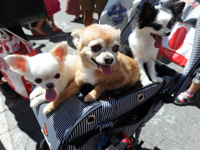 Three long-haired chihuahuas join their owner in checking out adoptable dogs at the Adoptapalooza on September 9, 2012.