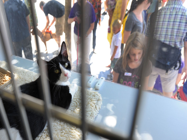 A kitten waits to find a new home at Adoptapalooza on September 9, 2012.