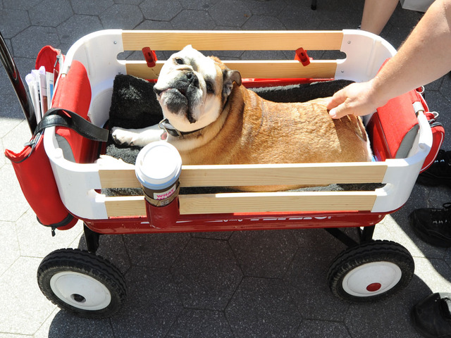 Beulla, a bulldog, needs a wagon, as she visits Adoptapalooza in Union Square on September 9, 2012.