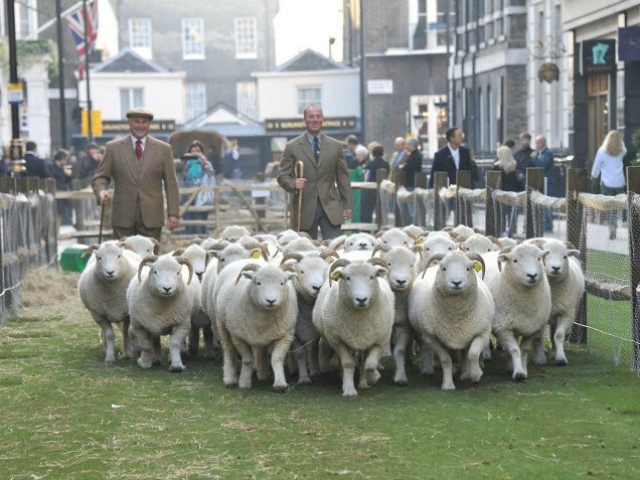 As part of the first Campaign for Wool event, organizers closed down Saville Row in London, laid down sod and invited sheep to the famed fashion street.