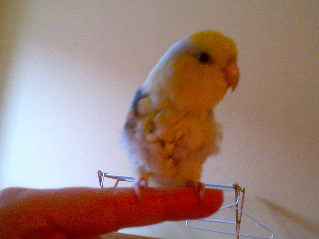 Ephraim is a rare yellow and speckled blue parrotlet,