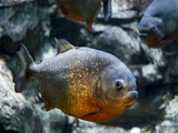 Girl Hooks 'Fat, Sassy' Piranha in Staten Island Pond