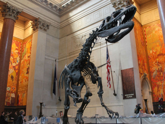 A dinosaur skeleton in the Theodore Roosevelt Memorial, which is being renovated and will be unveiled October 27, 2012.