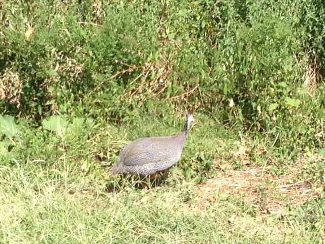 According to a bird expert at the volunteer-run Wild Bird Fund on the Upper West Side, the Guinea Fowl likely escaped from a poultry market in the area before making the unlikely spot its home.