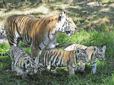 Two tigers at the Bronx Zoo gave birth to triplets Sept. 5, 2012.