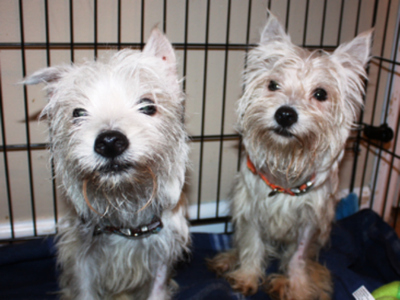 Fred, left, and Ginger, two West Highland terrier mixes, are recovering after being saved from a trash pile in The Bronx.