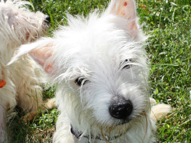 Fred (pictured here) is one of two West Highland terrier mixes that was saved from a trash pile in The Bronx.