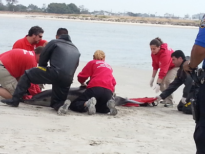 A live dolphin washed up on the shores of the Rockaways Friday, Sept. 28, 2012.
