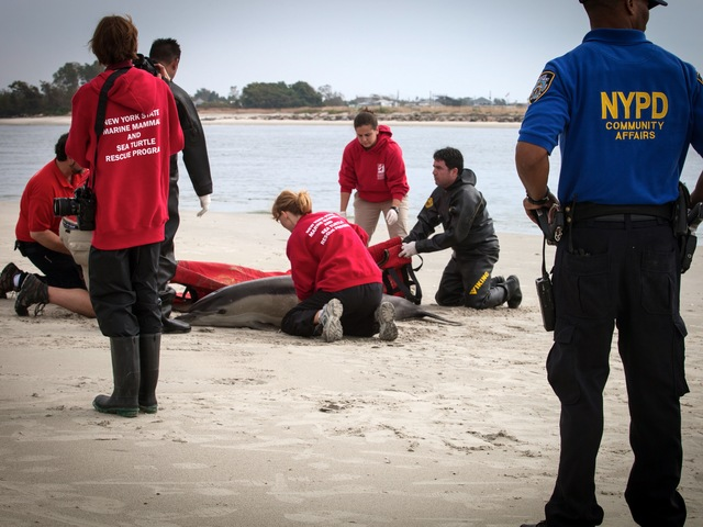 A dolphin was rescued in the Rockaways on Sept. 28, 2012.