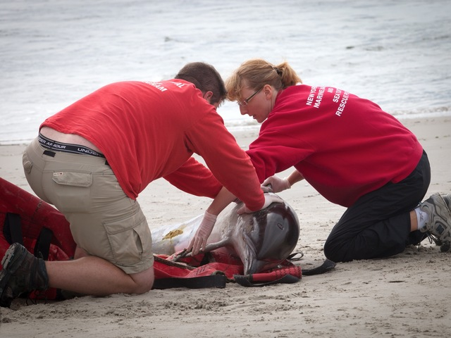 A stranded dolphin in the Rockaways on Sept. 28, 2012.
