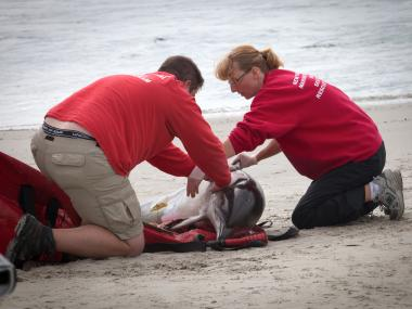 Rescue crews are aiding a live dolphin that washed up on the shore of the Rockaways Friday, Sept. 28, 2012.