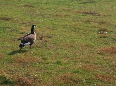 This goose in Pelham Bay Park still had a dart in its wing after being attacked.