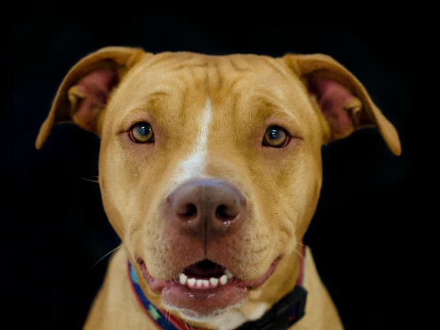 <p>Rose, one of the dogs that was up for adoption at the Manhattan Bideawee facility. All the animals housed in Manhattan have since been moved to Wantagh until the Manhattan shelter reopens.</p>