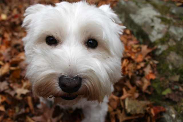 <p>A close-up of Carlie, Pace&#39;s Westie.&nbsp;</p>