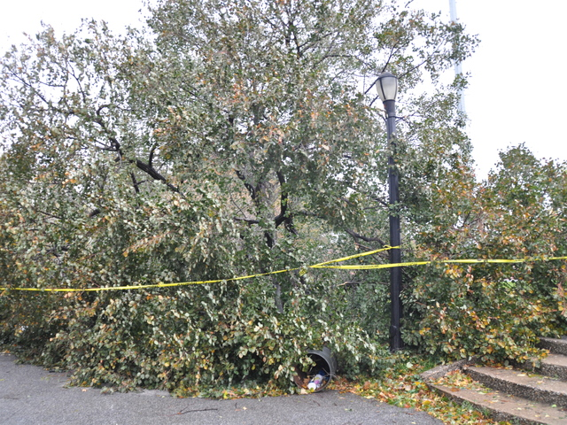 <p>The white spruce tree known as the Geraldo Tree fell in McCarren Park during Hurricane Sandy.</p>