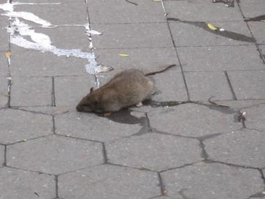 Upper East Siders say rats are overrunning a stretch of blocks on the East 90s.