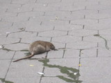 Rats Surge in Waterfront Neighborhoods after Hurricane Sandy, Report Says